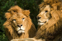 Twin lions sunbathing Stock Image