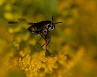 Twin-lobed deerfly, Chrysops relictus. Stock Photos
