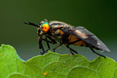 Twin-lobed deerfly, Chrysops relictus Stock Image