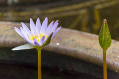 Twin Lotus. Stock Images