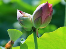 Twin lotus blossoms Royalty Free Stock Photo