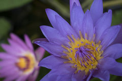 Twin lotus Royalty Free Stock Images