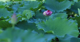 Twin lotus flowers on one stalk stock video