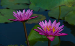 Twin lotus in lake. Pink color fresh lotus blossom on pond background Stock Photography