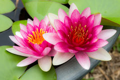Twin Lotus Royalty Free Stock Photo
