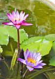 twin lotus in the pond Stock Images