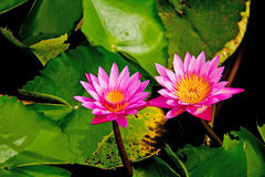 Twin lotus Royalty Free Stock Photography