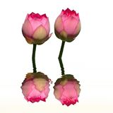 Twin lotus water reflection Royalty Free Stock Images