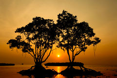 Middle Sun In Twin Mangrove Tree Royalty Free Stock Photos