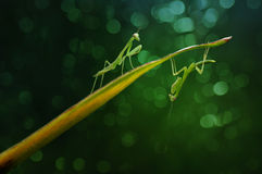 Twin Mantis. On a leaf Royalty Free Stock Image