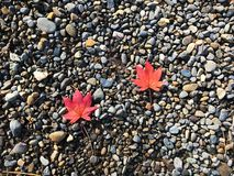 Twin maple on the rock. Twin maple falling near to each other on the rock road path of the park in japan Royalty Free Stock Images