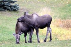 Twin Moose Calves Stock Photography