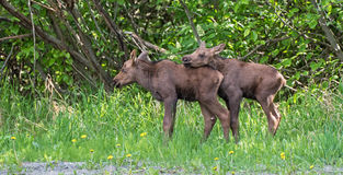 Twin moose calves Royalty Free Stock Image
