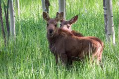 Twin Moose Calves. Shiras Moose of The Colorado Rocky Mountains stock photo