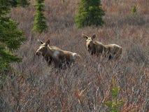Twin moose Stock Photography