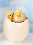 Twin newborn easter chicks. Two easter chicks in a big ostrich egg Royalty Free Stock Photos