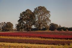 Twin Oaks on a rainbow hillside Royalty Free Stock Photography