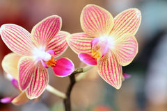Twin Orchid Blooms Stock Photo