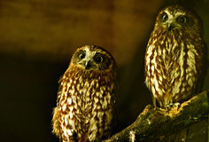 Twin owls. A pair of twin owls in a theme park in the 'World of owls' zoo Stock Image