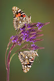 Twin Painted Ladies Royalty Free Stock Photo