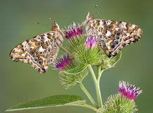 Twin Painted Ladies On Burdock Royalty Free Stock Photos