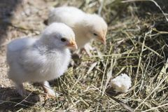 Twin or pair of small chickens on natural background, both chickens, newborn chickens for conceptual design and decorative works. Twin or pair of small chickens royalty free stock photos