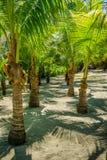 Twin Palm Tree Row Royalty Free Stock Image