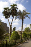 Twin Palm trees. A twin palm trees inside a garden in Cairo, Egypt Royalty Free Stock Photography