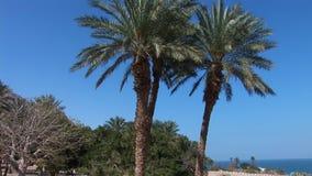 Twin palms. Near Dead Sea stock footage