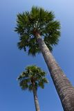 Twin palms Stock Photography