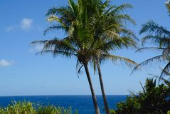 Twin Palms. Two palm trees standing watch over the South Shore of the Big Island of Hawaii Royalty Free Stock Image