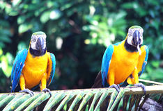 Twin Parrot Birds Stock Photo