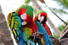 Twin parrots Royalty Free Stock Images