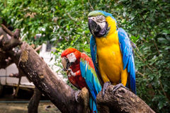 Twin Parrots. Double parrots sitting on tree royalty free stock images