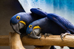 Twin Parrots in Funny Pose Royalty Free Stock Photos