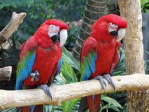 Twin parrots Royalty Free Stock Image