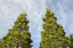 Twin Pine Trees. Two pine trees with blue sky and wispy clouds behind them Royalty Free Stock Photography