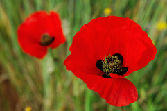 Twin poppies Royalty Free Stock Images
