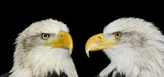 Twin portrait of bald eagles isolated on black royalty free stock image