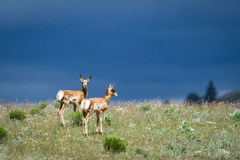 Twin Pronghorns Against Stormy Skies Stock Photos