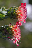 Twin Proteas Royalty Free Stock Photography