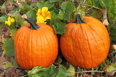 Twin Pumpkins. In field with flower Royalty Free Stock Image