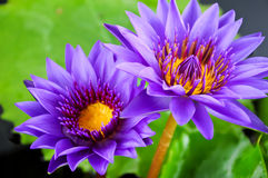 Twin purple water lily Stock Photos