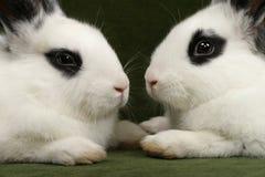 Twin rabbits Stock Photos