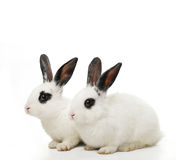 Twin rabbits Royalty Free Stock Photography