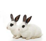 Twin Rabbits Royalty Free Stock Photography