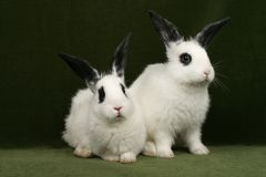 Twin rabbits Stock Photos