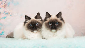 Twin rag doll cats Royalty Free Stock Image
