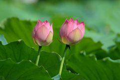 Twin Red Lotus Royalty Free Stock Photos