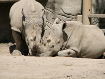 Twin Rhinos Royalty Free Stock Image